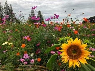コスモスと向日葵の写真・画像素材[2647976]