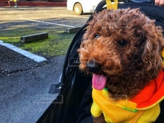 愛犬の写真・画像素材[2737077]