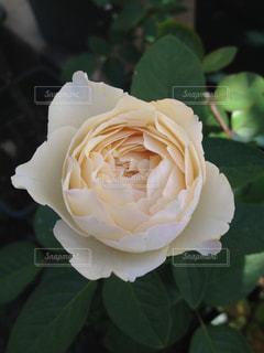 バラのお姫様🌹の写真・画像素材[2060044]
