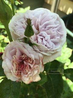 大好きなバラのひとつ^ ^の写真・画像素材[2060155]