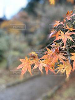 もみじ木のクローズアップの写真・画像素材[2831990]