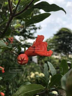 枝からぶら下がっている赤い花の写真・画像素材[2188523]