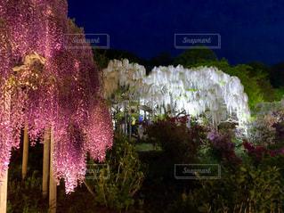 藤の花の写真・画像素材[2093613]