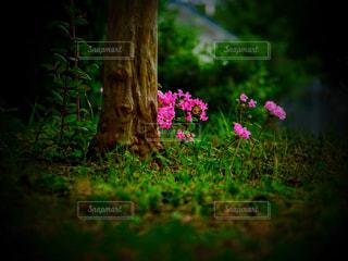 ピンクの花の写真・画像素材[2355474]