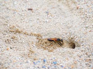 砂をかき集めて出てくる蜂の写真・画像素材[2378326]