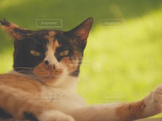 猫のクローズアップの写真・画像素材[2421555]