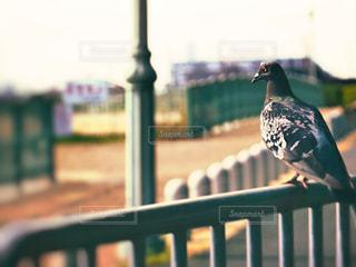 フェンスに止まる鳩の写真・画像素材[2444751]