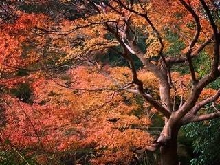 森の中の大きな木の写真・画像素材[2736654]