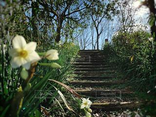 水仙と階段の写真・画像素材[2957636]