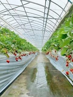 イチゴの温室の写真・画像素材[2079329]