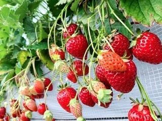 新鮮な果物の写真・画像素材[2079331]