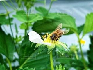 蜂と花の写真・画像素材[2079388]