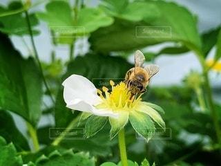 蜂と花の写真・画像素材[2079389]