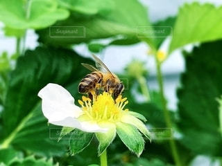 蜂と花の写真・画像素材[2079390]