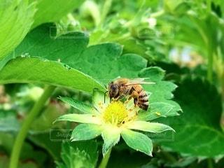 蜂と花の写真・画像素材[2079391]