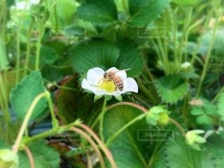 蜂と花の写真・画像素材[2079392]