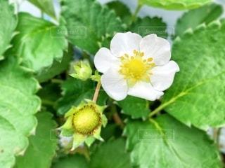 イチゴの花の写真・画像素材[2079395]