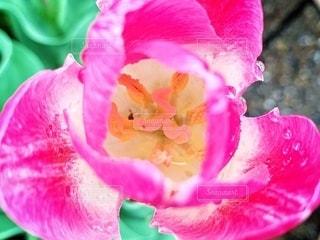 ピンクの花の写真・画像素材[2079495]