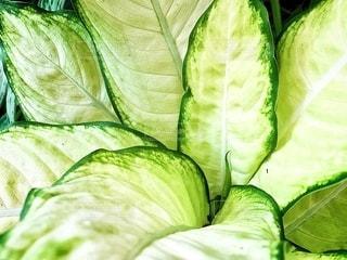 鮮やかなグリーンの葉っぱの写真・画像素材[2080262]