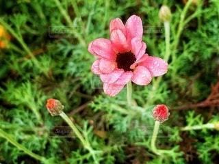 植物にピンクの花の写真・画像素材[2085542]