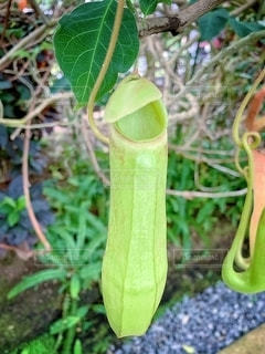 食虫植物の写真・画像素材[2085637]