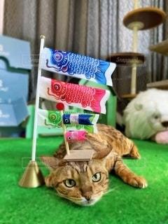 ベンガル猫と鯉のぼりの写真・画像素材[2085662]