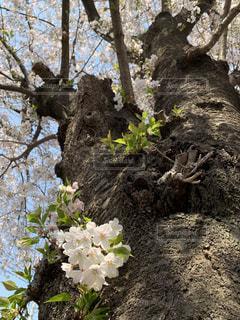 桜の写真・画像素材[2064089]
