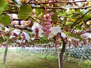 ぶどう園の写真・画像素材[2065018]