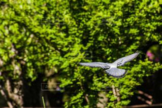 森の上を飛んでいる鳩の写真・画像素材[2083372]