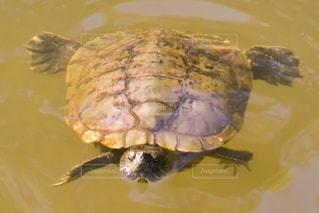 池の亀の写真・画像素材[2083577]
