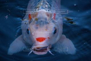 池の鯉の写真・画像素材[2083580]