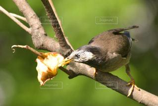 小鳥が木の枝にとまってりんごを啄ばむの写真・画像素材[2089059]