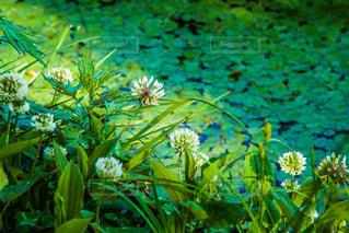 蓮池とシロツメクサの写真・画像素材[2089062]