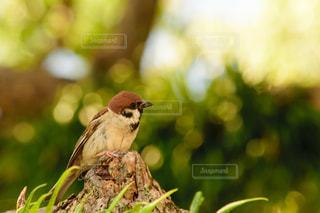 枝に座っているスズメの写真・画像素材[2096994]