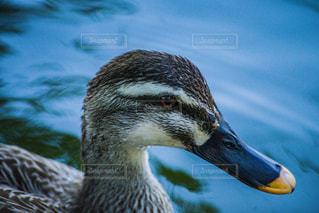鴨のドアップの写真・画像素材[2121684]