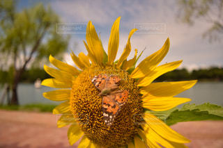向日葵の蜜を吸う蝶の写真・画像素材[2137292]