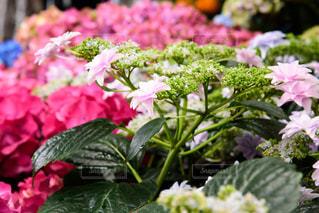 箱根の紫陽花です。の写真・画像素材[2142611]