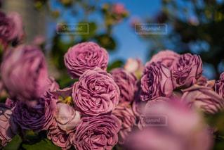 恋ピンクの薔薇の写真・画像素材[2167476]