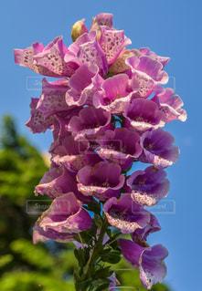 紫色の花のクローズアップの写真・画像素材[2217923]