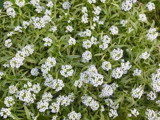 小さな白い花の写真・画像素材[2712079]