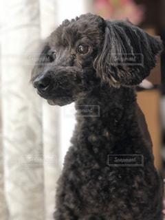 黒い犬の写真・画像素材[2126649]
