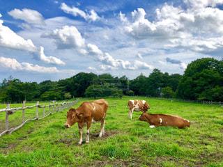 牧場でのんびりくつろぐ牛の写真・画像素材[2069765]