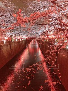 中目黒 夜桜 桜祭りの写真・画像素材[2068731]