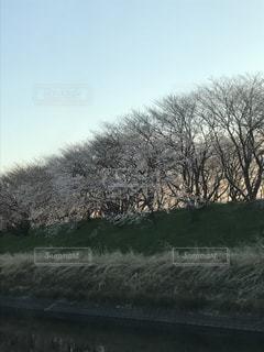 夕暮れの桜並木の写真・画像素材[2075197]