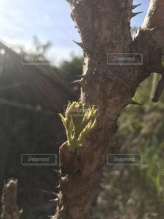 タラの芽の写真・画像素材[2083585]