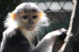 世界で一番美しい猿の写真・画像素材[2489104]
