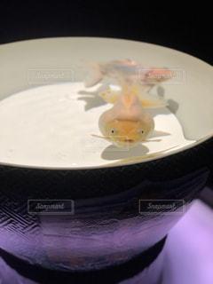 白い皿の上に座る金魚の写真・画像素材[2086883]