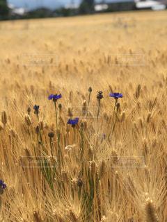 稲の花の写真・画像素材[2173808]