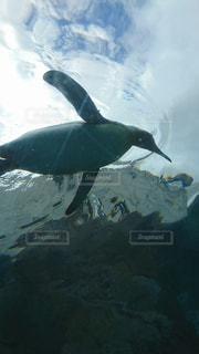 水の中を泳ぐペンギンの写真・画像素材[2257976]