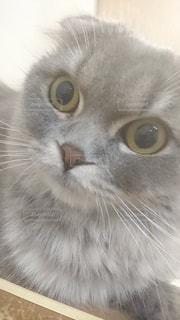 カメラを見ている猫のクローズアップの写真・画像素材[2257980]